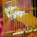 Попугай Самурай